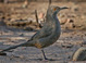 Curve-billed Thrasher taken by Dan Mitchell on 11/11/2007